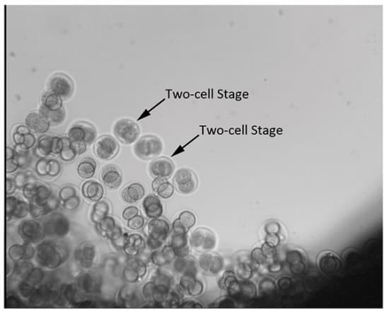 Two_cellstage