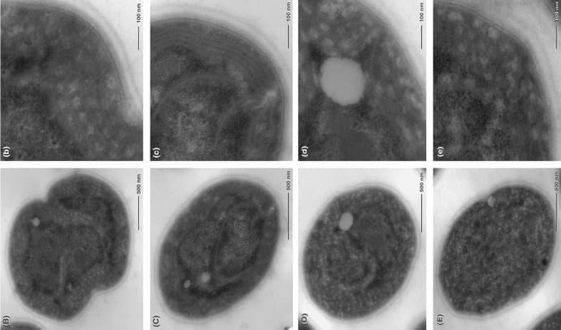 microalgae_cell