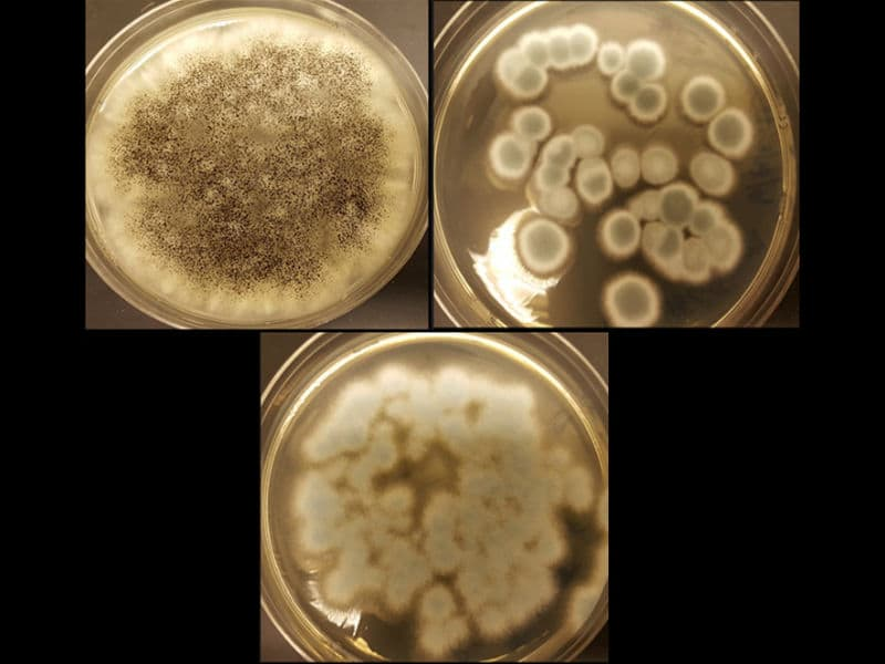 Three-Strains-of-fungi-to-recycle-rechargeable-batteries